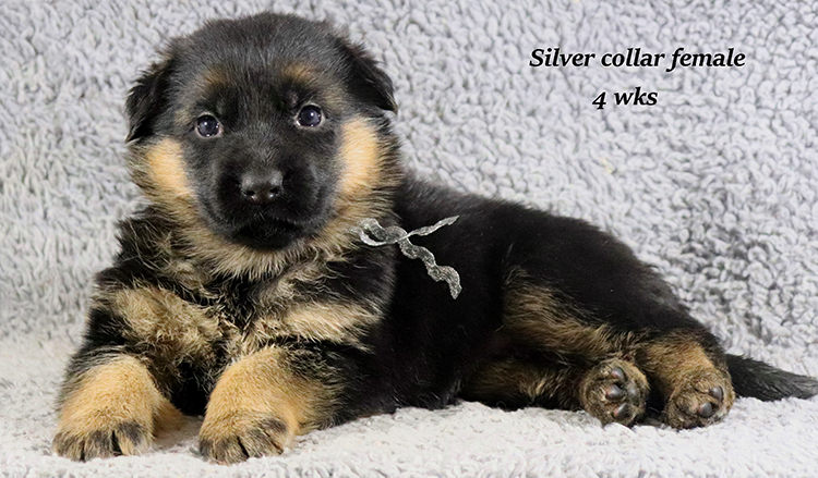 Rocco x Ischara - 4 Weeks Silver Collar Female