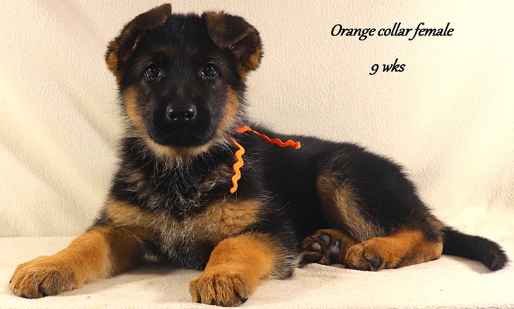 Kondor x Coby - 9 Week Orange Collar Female