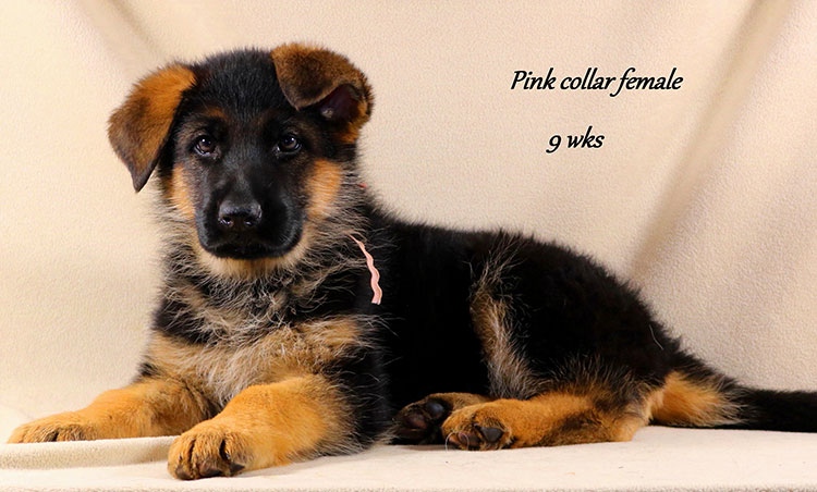 Kondor x Coby - 9 Week Pink Collar Female