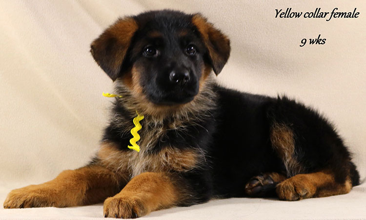 Kondor x Coby - 9 Week Yellow Collar Female