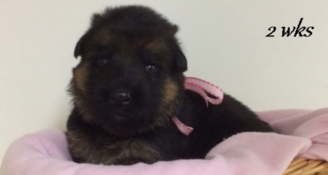 Kondor x Tiara - 2 Weeks Pink Collar Female