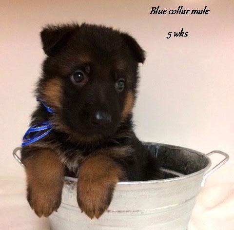 Kondor x Tiara - 5 Weeks Blue Collar Male