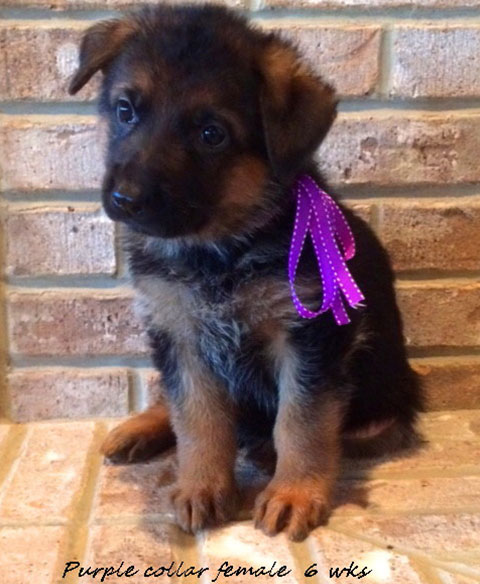 Kondor x Tiara - 6 Weeks Purple Collar Female