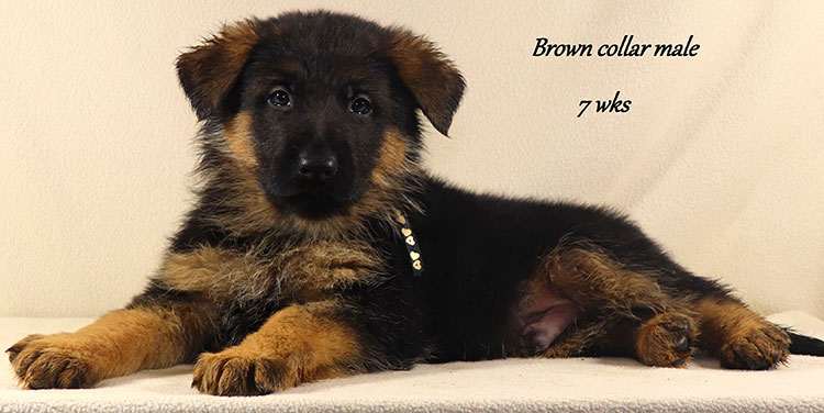 Kondor x Utah - 7 Week Brown Collar Male