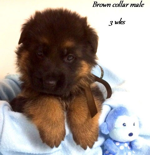 Kuele x Estrella - 3 Weeks Brown Collar Male