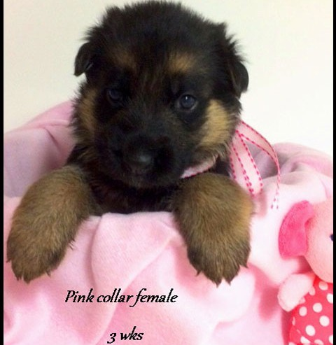 Kuele x Estrella - 3 Weeks Pink Collar Female