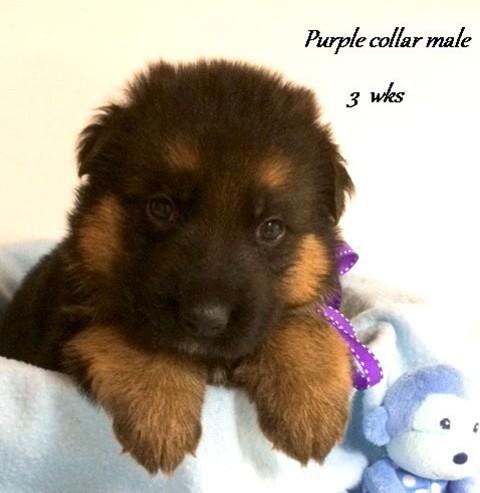 Kuele x Estrella - 3 Weeks Purple Collar Male
