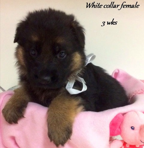 Kuele x Estrella - 3 Weeks White Collar Female