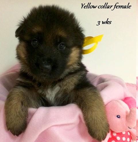 Kuele x Estrella - 3 Weeks Yellow Collar Female