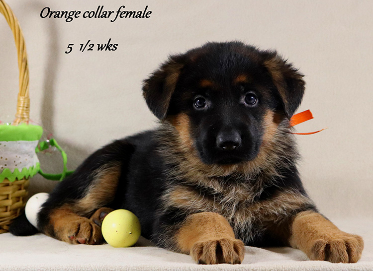 Obi x Mardi Gras - 5 and Half Week Orange Collar Female