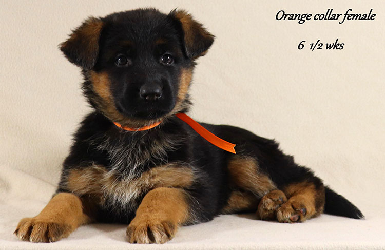 Obi x Mardi Gras - 6 and Half Week Orange Collar Female 2