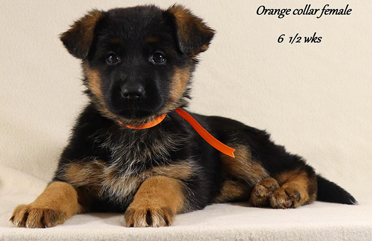 Obi x Mardi Gras - 6 and Half Week Orange Collar Female