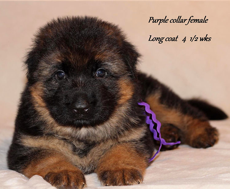 Obi x Yoshi - 4 and Half Week Purple Collar Female
