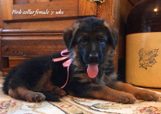 Kondor x Tiara - 7 Weeks Pink Collar Female
