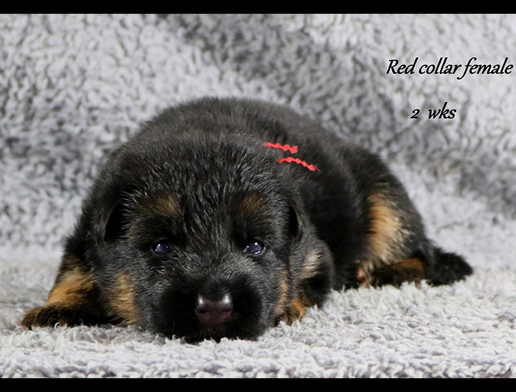 Nicco x Twitter - 2 Weeks Red Collar Female