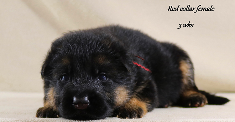 Nicco x Twitter - 3 Weeks Red Collar Female