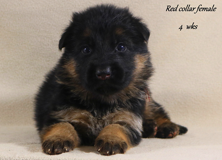 Nicco x Twitter - 4 Weeks Red Collar Female