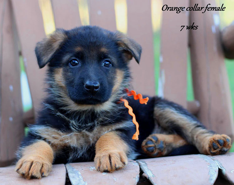 Yoshi x Obi - 7 Weeks Orange Collar Female 2