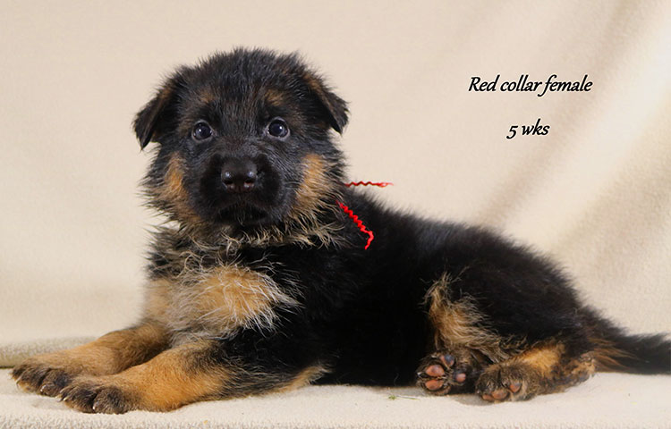 Nicco x Twitter - 5 Weeks Red Collar Female