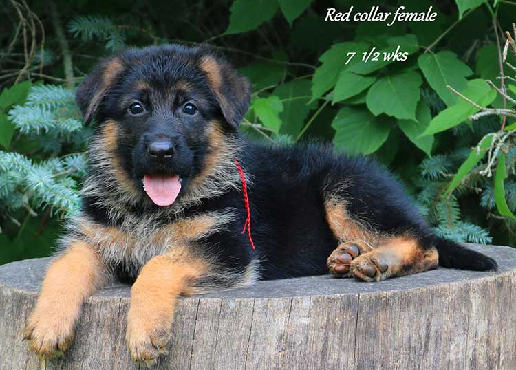 Nicco x Twitter - 7 and Half Week Red Collar Female