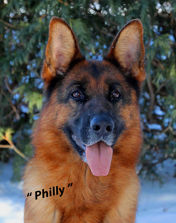 Mittelwest Adult Female For Sale - V Philly vom Mittelwest Head