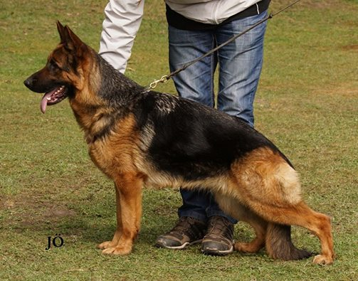 Mittelwest Adult Female For Sale - Vally v Casselswald Sch1