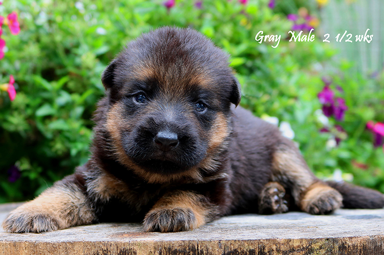 Nashville x Solo - 2 and Half Weeks Gray Collar Male