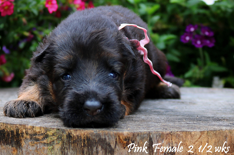 Nashville x Solo - 2 and Half Weeks Pink Collar Female