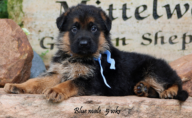 Ohio x Whillo - 5 Weeks Blue Collar Male