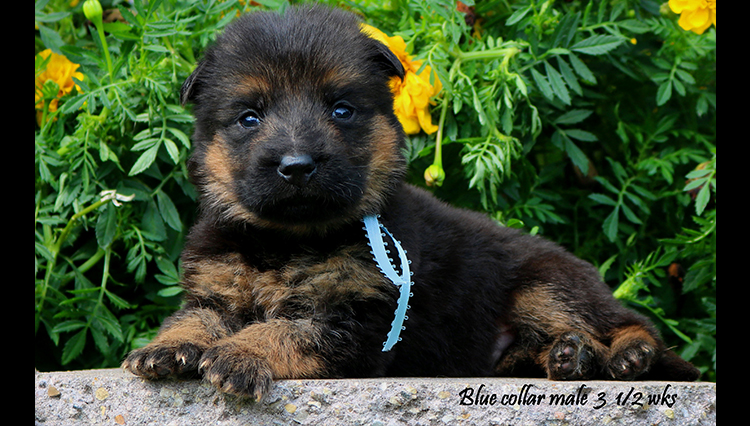 Solo x Nashville - 3 and Half Week Blue Collar Male