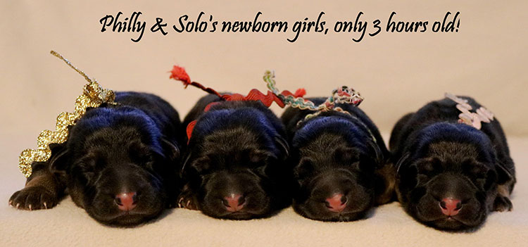 solo-x-philly-newborn-female-litter