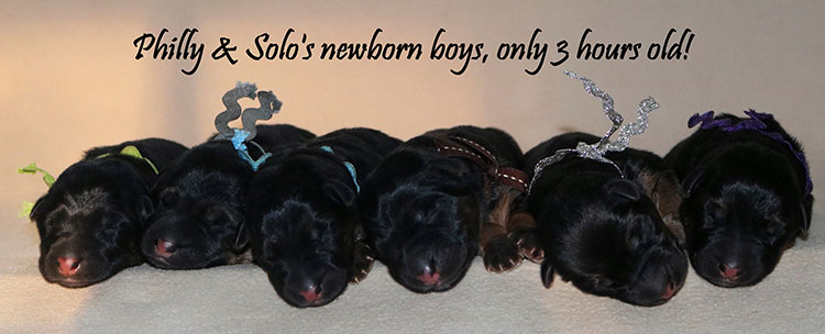 Solo x Philly - Newborn Male Litter