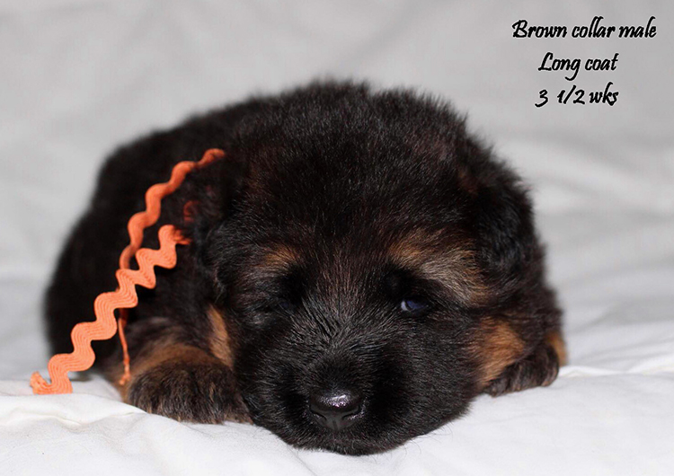 Kondor x Shelby - 3 and Half Weeks Brown Collar Male