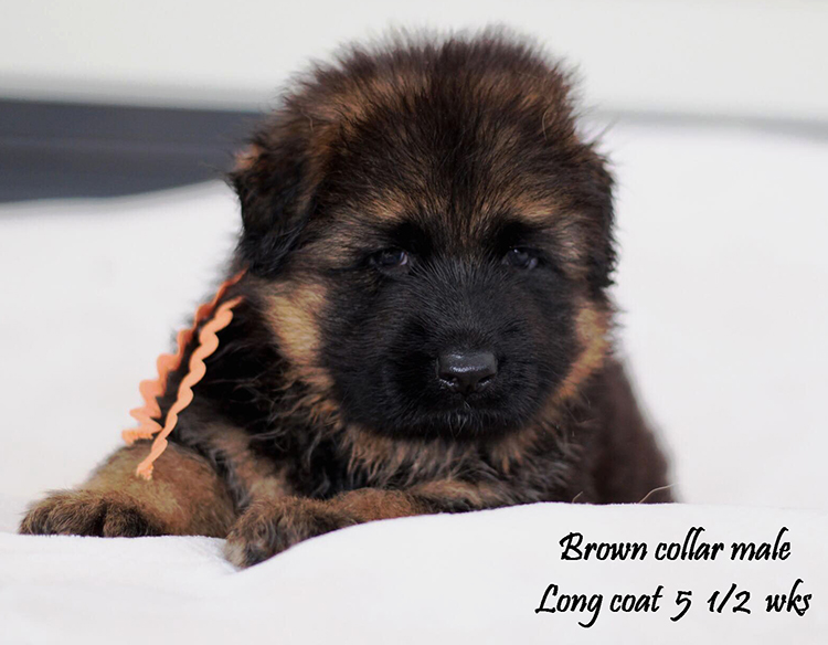Kondor x Shelby - 5 and Half Week Brown Collar Male