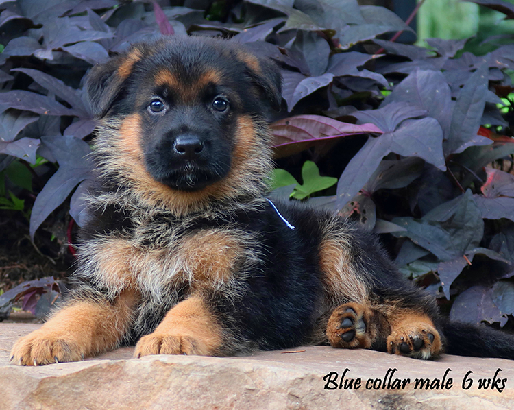 Ohio-X-Whillo-6weeks-collar-blue-male
