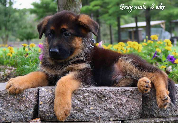 Solo x Nashville - 8 and Half Week Gray Collar Male