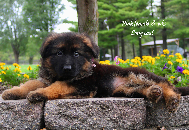 Solo x Nashville - 8 and Half Week Pink Collar Female 1