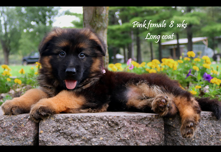 Solo x Nashville - 8 and Half Week Pink Collar Female 2