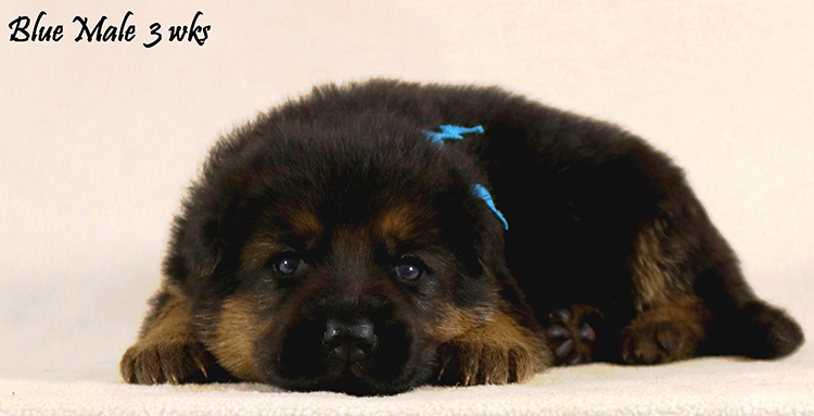 Solo x Philly - 3 Weeks Blue Collar Male