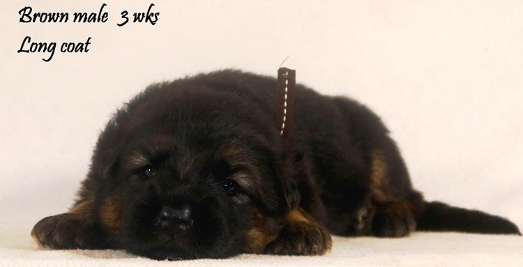 Solo x Philly - 3 Weeks Brown Collar Male