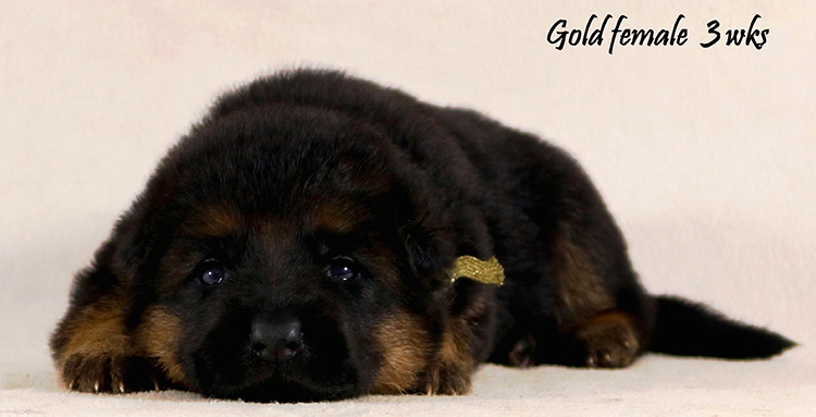 Solo x Philly - 3 Weeks Gold Collar Female
