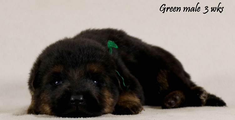 Solo x Philly - 3 Weeks Green Collar Male