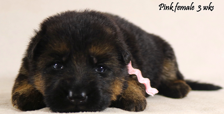 Solo x Philly - 3 Weeks Pink Collar Female