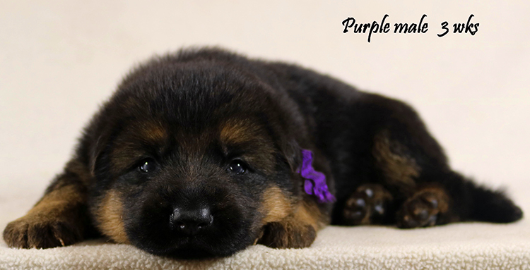 Solo x Philly - 3 Weeks Purple Collar Male