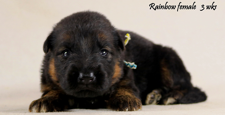 Solo x Philly - 3 Weeks Rainbow Collar Female
