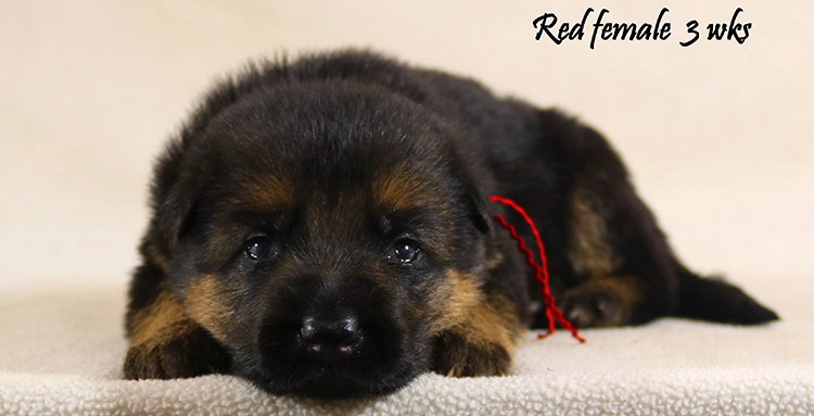 Solo x Philly - 3 Weeks Red Collar Female