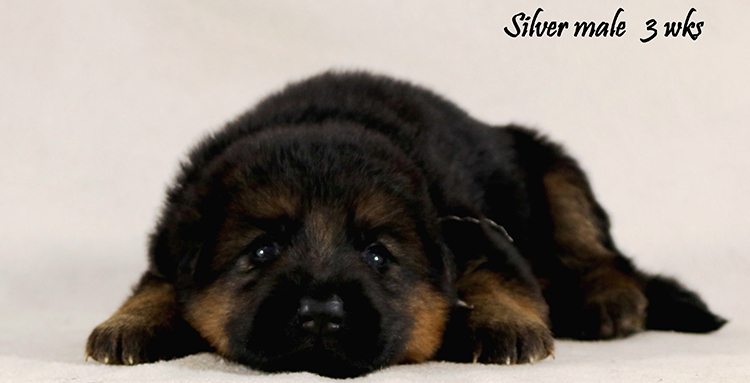 Solo x Philly - 3 Weeks Silver Collar Male