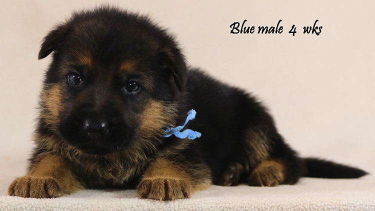 Solo x Philly - 4 Weeks Blue Collar Male