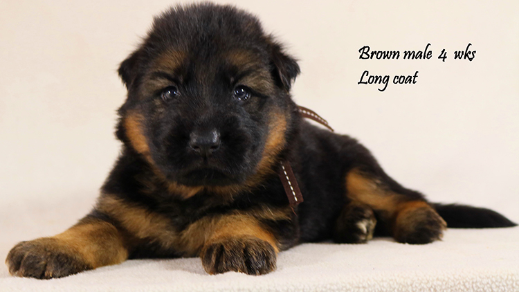 Solo x Philly - 4 Weeks Brown Collar Male 2