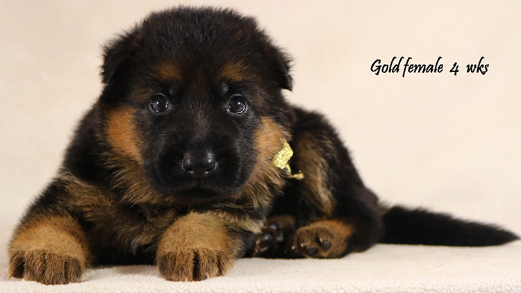 Solo x Philly - 4 Weeks Gold Collar Female